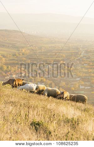 Group Of Sheep And Goats Grazing Grass Above The Village