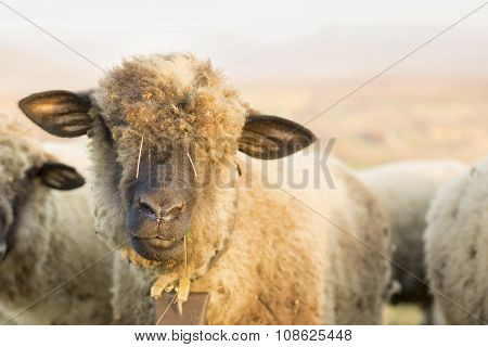 Portrait Of A Cute Sheep Grazing In The Field