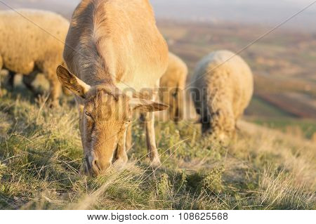 Goat Grazing In The Field With Others In Background Facing The Camera