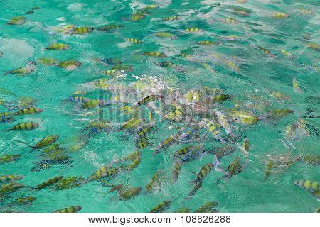 Tropical Fish Fighting For Bread, Pileh Lagoon, Ko Phi Phi  Lee