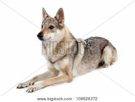 Alert Czechoslovakian Wolfdog Lying