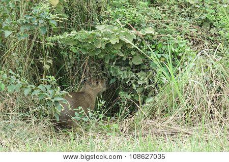Capybara. Madidi Park. Bolivia