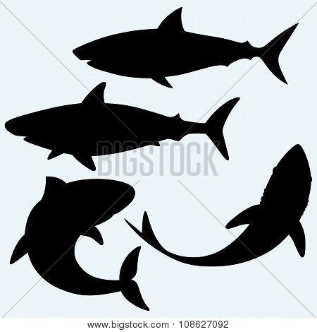 Set shark