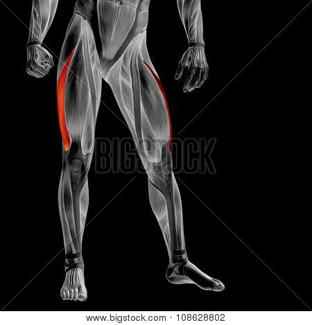 Concept or conceptual 3D human upper leg anatomy or anatomical and muscle isolated on black background