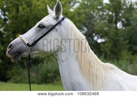 Beautiful Head Shot Of An Arabian Horse On Natural Background