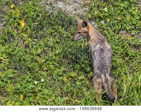 Young Golden Jackal (canis Aureus)