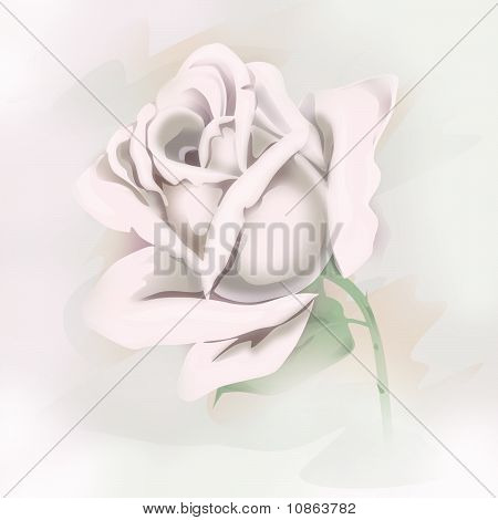 White Tender  Rose