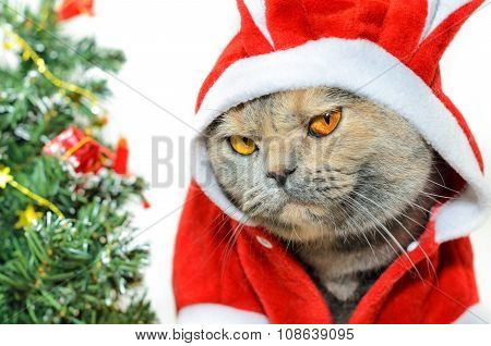 Christmas Cat Looking At Camera
