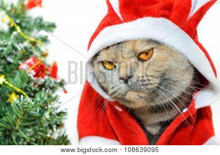 Christmas Cat Looking At Camera