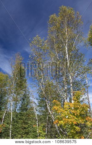 White Birch Trees In An Autumn Forest