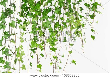 Draping Green English Ivy Background