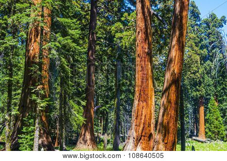 Big Sequoia Trees In Sequoia National Park Near Giant Village Area