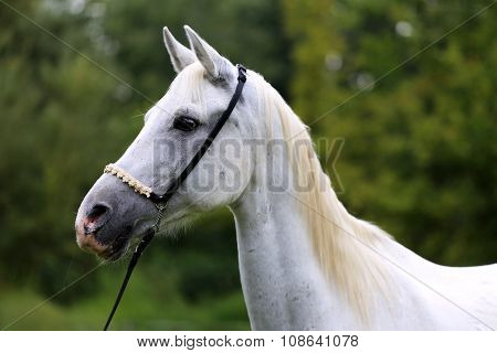Beautiful Thoroughbred Horse Head At Farm Against Natural Background