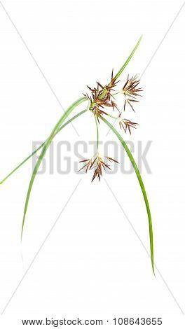 One Stem Of Cyperus Plant