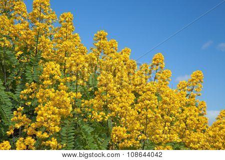 Popcorn Cassia