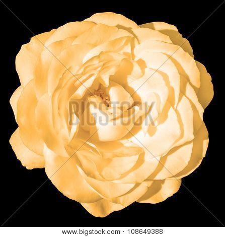 Orange Tender Rose Flower Macro Isolated On Black