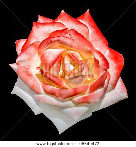 White And Red Tender Rose Flower Macro Isolated On Black