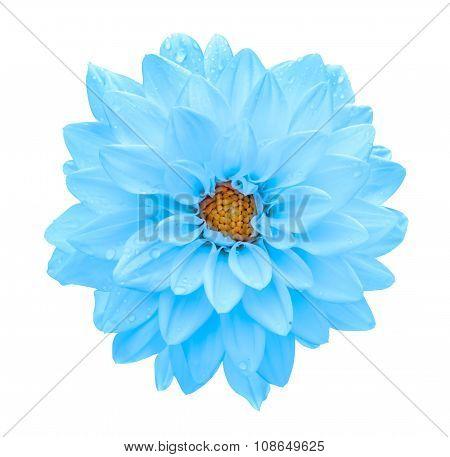 Clear Blue Flower Dahlia Macro Isolated On White