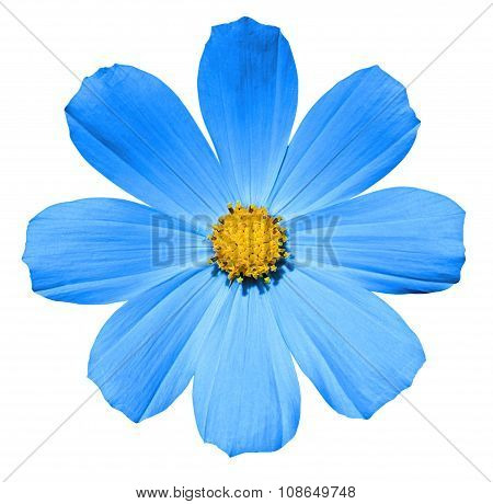 Cyan Flower Primula Isolated On White