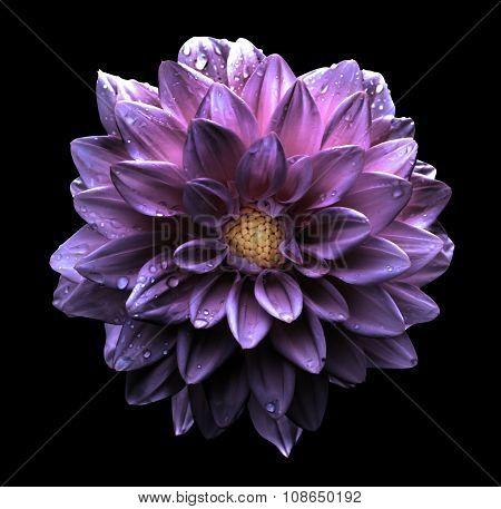 Surreal Dark Chrome Violet Flower Dahlia Macro Isolated On Black