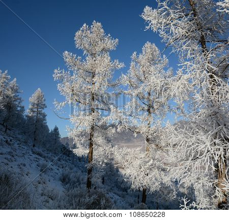 Larch In Snow, Siberia, Russia