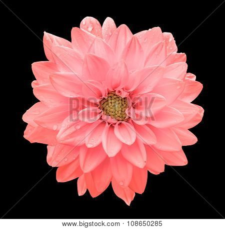 Pink Flower Dahlia Macro Isolated On Black