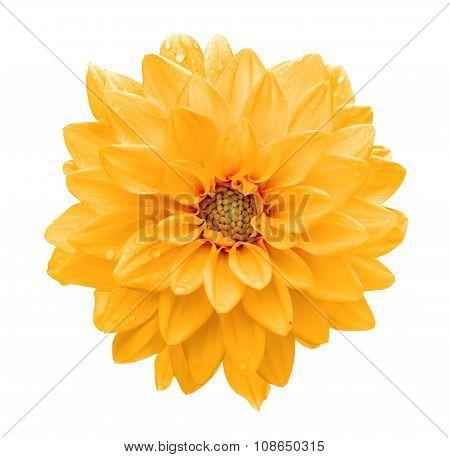 Orange Flower Dahlia Macro Isolated On White
