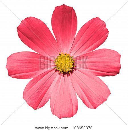Rose Flower Primula Isolated On White