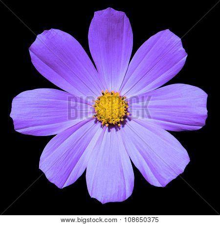 Purple Flower Primula Isolated On Black