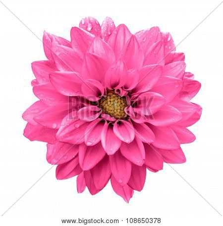 Acid Pink Flower Dahlia Macro Isolated On White