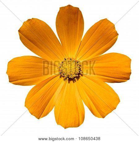 Gold Orange Flower Primula Isolated On White