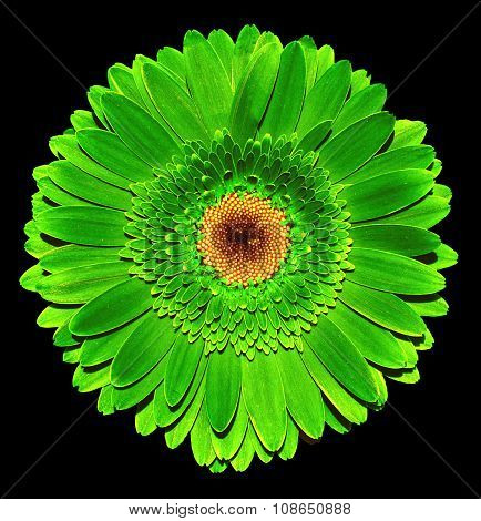 Surreal Dark Chrome Acid Green Gerbera Flower Macro Isolated On Black