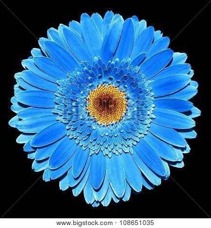 Surreal Dark Chrome Blue Gerbera Flower Macro Isolated On Black