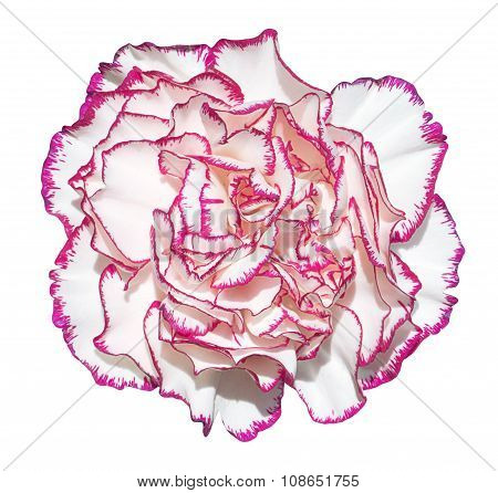 Clove Flower With White Petals And Pink Edging Macro Photography Isolated On White