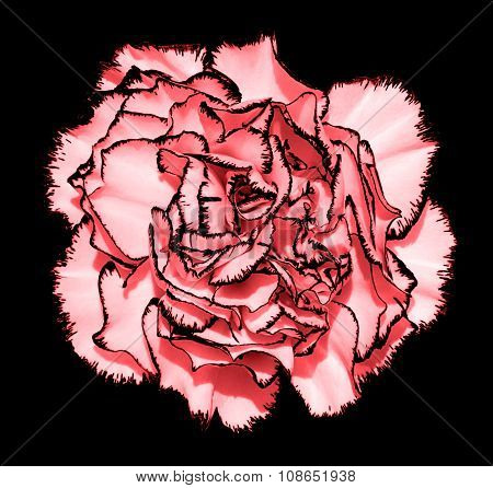 Clove Flower With Tender Pink Petals And Black Edging Macro Photography Isolated On Black Painting S