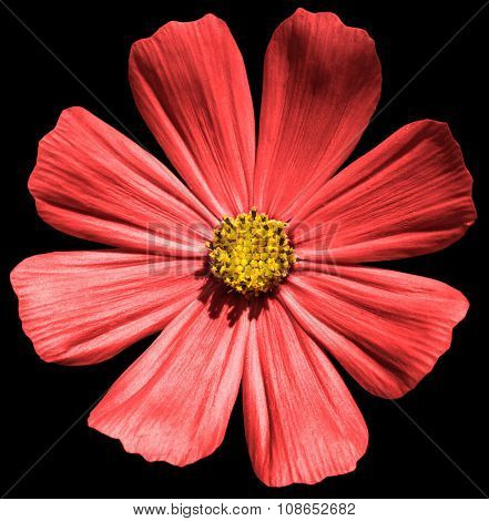 Red Flower Primula Isolated On Black