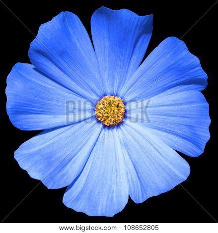 Blue Flower Primula Isolated On Black