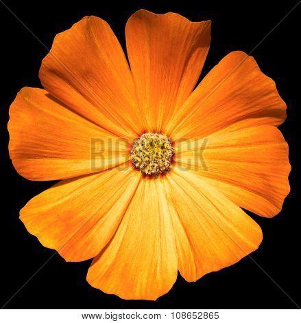 Orange Flower Primula Isolated On Black
