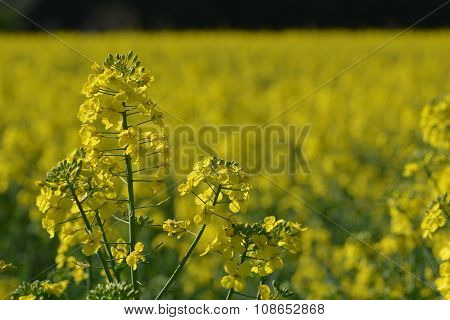 Yellow flowers on yellow background of canola field