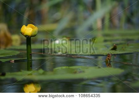One Yellow Water-lily on lake