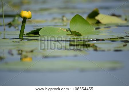 One Yellow Water-lily and leaves on lake