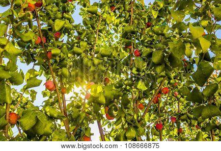Plum Growing On Tree