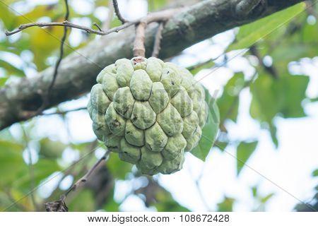 Custard Apple On Tree