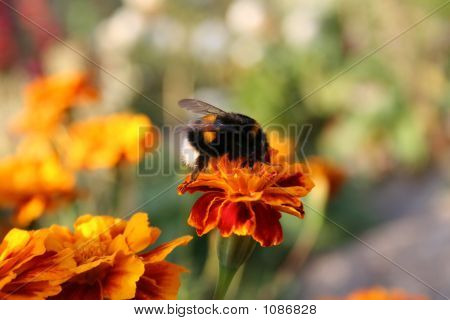Humble Bee Over The Flower
