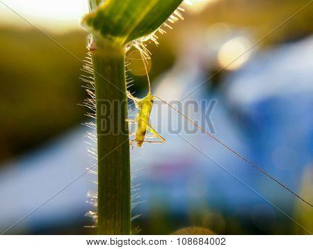 Little Grasshoper