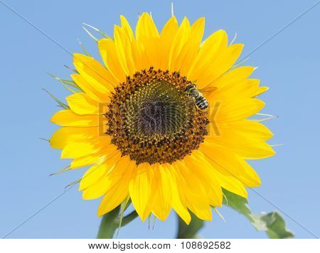 bee on the sunflower collect nectar against the sky