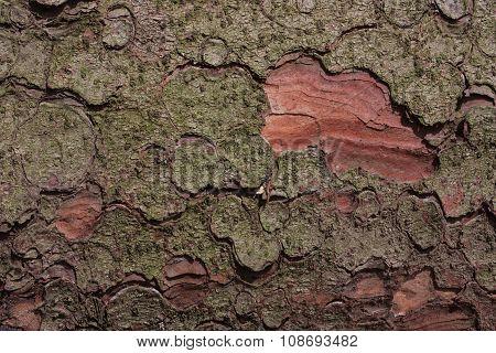The Bark Of Spruce.