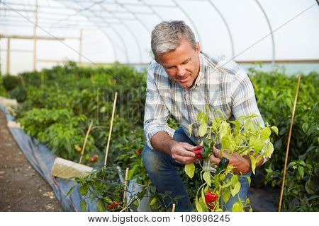 Farmer Checking Organic Chilli Plants In Greenhouse