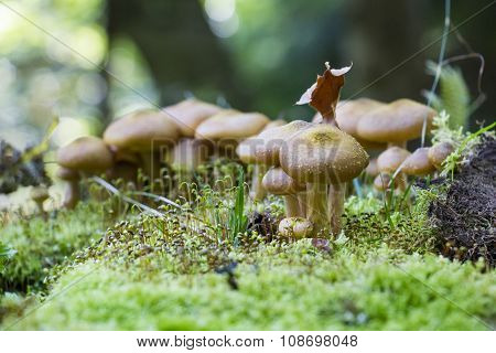 Mushrooms hidden in the forest litter