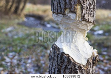 Tree gnawed by beavers